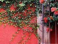 Забор и розы